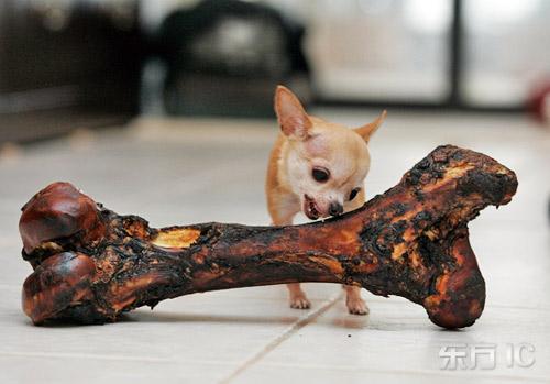 吉尼斯纪录:世界最小的狗(组图)