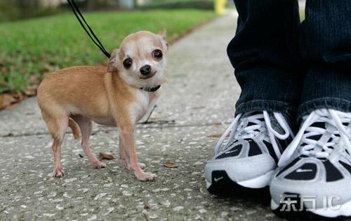 吉尼斯纪录 世界最小的狗