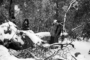 昨日,在岳麓山游玩的几位市民对150年古枫香连根倒伏表示惋惜。图/记者斯茅庚