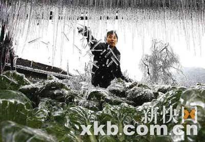 昨日上午,乳源县洛阳镇钟屋村村民钟电强在自家菜园子里清除冰棱,长时间冰冻将蔬菜冻死大半。记者 王小明/摄