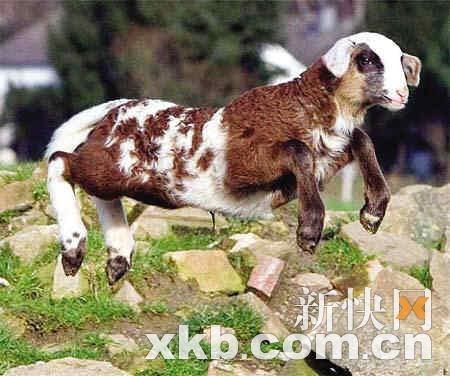 人和绵羊交配_德国雌绵羊与雄山羊交配产下山绵羊(图)