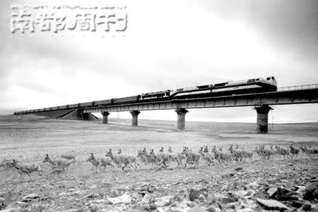 刘为强经过PS合成的《青藏铁路为野生动物开辟生命通道》