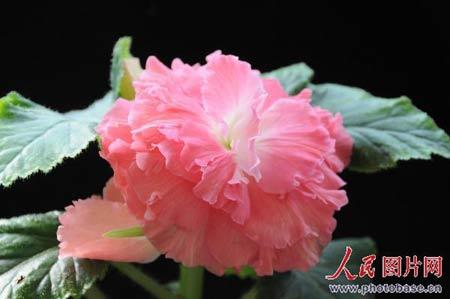 金正日花其实就是一种秋海棠,为多年生球根秋海棠家族的一个新成员。它是日本园艺学家kamoMototeru经过20多年的杂交,精心培育而成的。此花色彩鲜红亮丽,高度重瓣,雌雄花同株,花径10-20厘米(最大可达25厘米),花期长达120天。茎杆直立粗壮,抗病虫能力强,繁殖栽培十分容易。