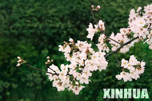 武汉赏樱花