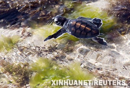 7月28日,在坦桑尼亚达累斯萨拉姆以南24公里处,一只绿海龟在海边的浅水里游泳。.