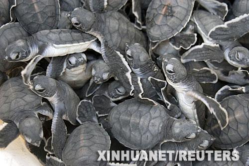 7月28日,在坦桑尼亚的达累斯萨拉姆以南24公里处的海滩,从同一个洞穴孵化出来的一百多只绿海龟爬成一团。