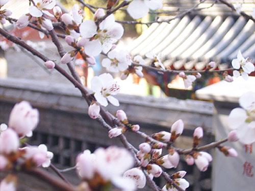 颐和园桃花