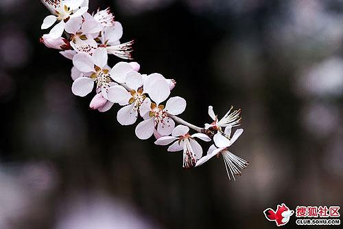 圆明园山桃花