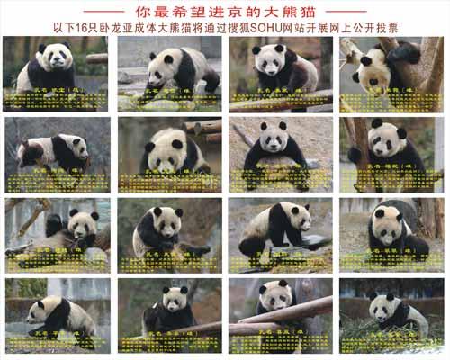 16只备选熊猫