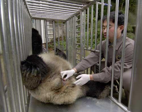 2005年,对大熊猫壮壮在非麻醉状态下人工采精的培训取得成功。这在国内外均是首次取得成功,在大熊猫培训领域取得突破性进展。