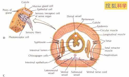 蚯蚓拥有很强的再生能力