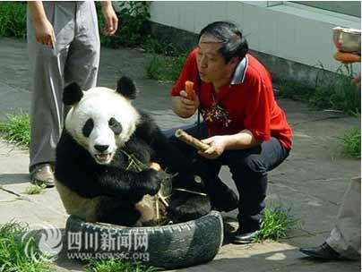 牛群逗大熊猫吃竹子
