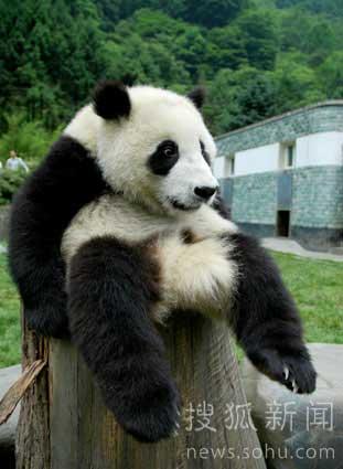 """大熊猫宝宝""""成长记录"""""""