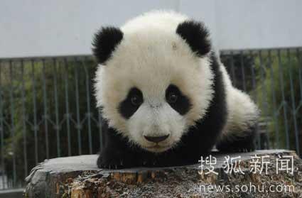 """熊猫宝宝""""成长记录"""""""