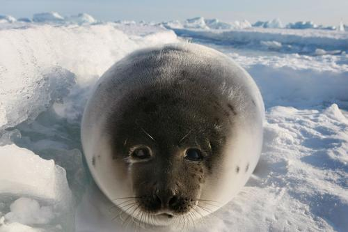 加拿大海豹猎杀季