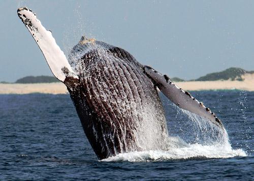 """座头鲸""""光临""""日本冲绳"""