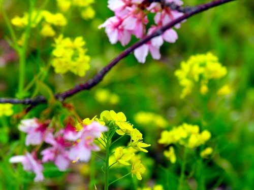 浪漫春日 不能错过的那场樱花雨[组图]