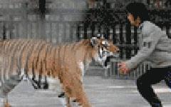重庆母藏獒产九崽