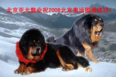 北京亚北藏獒