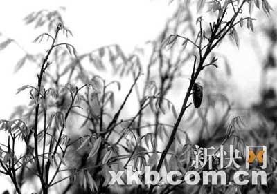 在增城一荔枝农场,原本应是蜜蜂忙着采蜜的时节却鲜有蜜蜂身影。新快报记者 王小明/摄