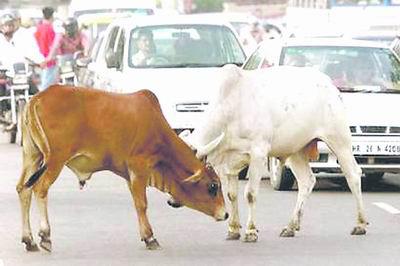 新德里的牛