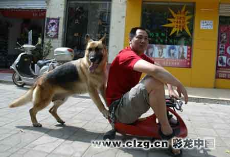 西丽园杨先生训养的犬推车 记者 曲鸣飞/摄