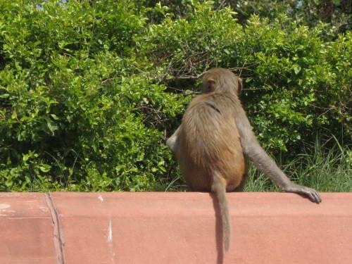 组图:印度新德里总统府周边的猴子
