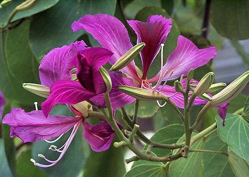 香港的区花--紫荆花