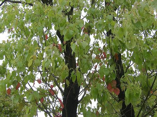 市树:香樟树