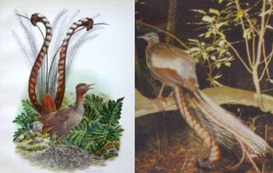 澳大利亚国鸟琴鸟