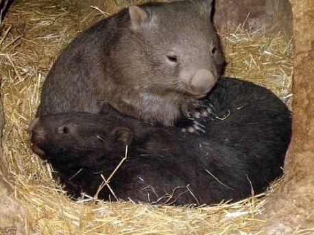 袋熊 (资料图)