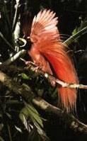 红羽极乐鸟