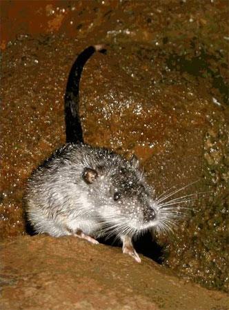 澳洲水鼠资料图