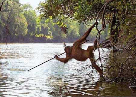 摄影师首次拍到猩猩用木棍捕鱼