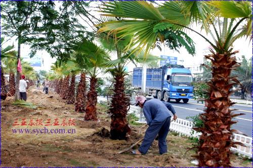 园林工人在田独镇主要路段补种风景树。