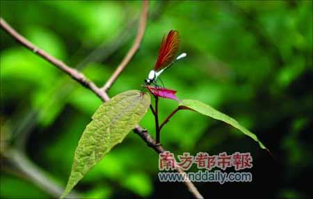一只昆虫在鲜嫩的枝条上逗留,灾后的南岭开始艰难地复绿。