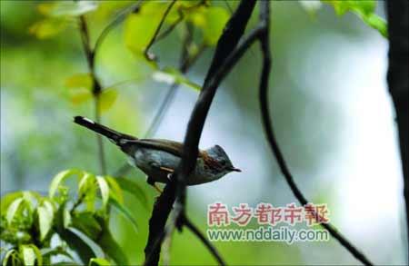 一只小鸟造访林区,这在雪灾后的南岭山中并不多见。