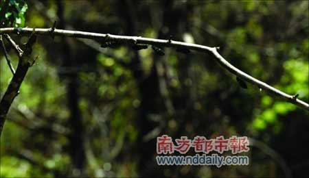 几只知了列队排在枯枝上,灾后南岭在春日里透出生机。