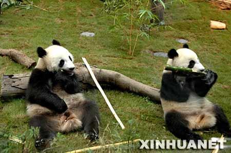 """2007年6月30日,大熊猫""""乐乐""""(左)和""""盈盈""""在香港海洋公园的大熊猫园吃竹子。"""