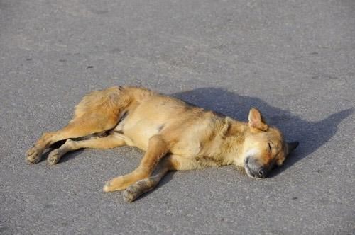 在炎热的下午躺在新德里马路上睡觉的狗,人称热狗