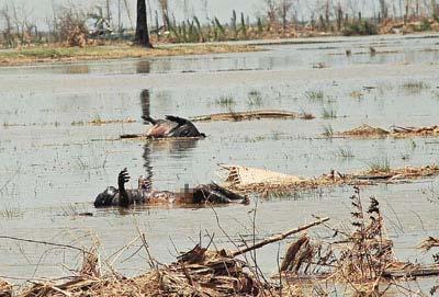 重灾区伊洛瓦底省的稻田,有一具人尸及猪尸