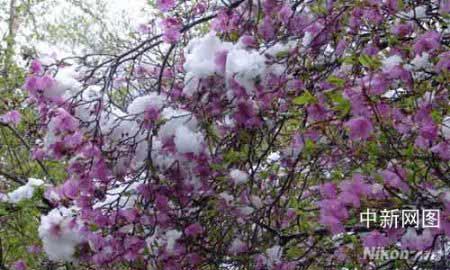 野三坡百草畔森林公园惊现五月飞雪奇观