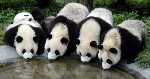 卧龙大熊猫