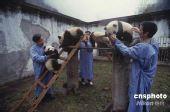 图文:卧龙大熊猫幼仔已被安全转移