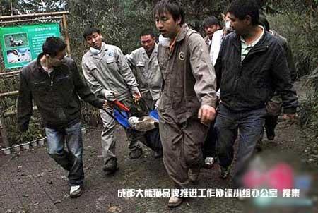 地震后卧龙保护大熊猫研究中心工作人员于第一时间将大熊猫转移。