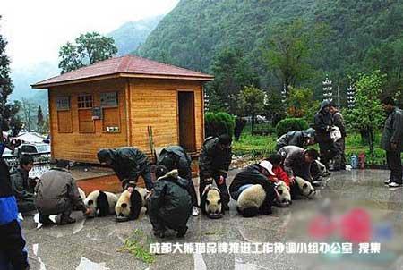 大熊猫幼仔在工作人员细心照料下安全地区进食。
