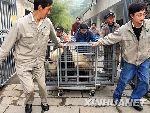 工作人员将大熊猫装笼后推出圈舍