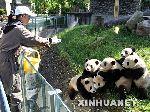 饲养员正在给大熊猫投食