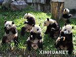 大熊猫在一起快乐地吃馍馍