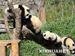 几只半岁左右的大熊猫一起玩耍